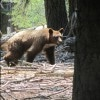 Sequoia National Park Bear (Custom)
