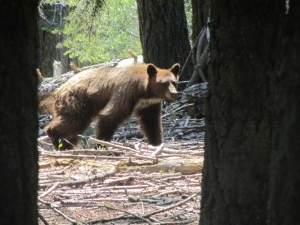 Sequoia National Park Bear (Custom)
